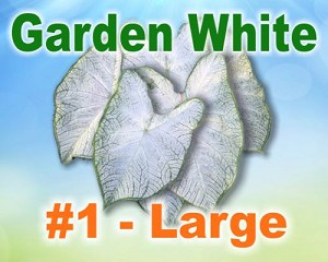 Garden White Caladiums -  Large Bulbs by Count