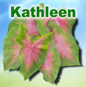 Kathleen Caladiums - Mixed Sizes