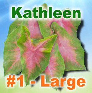 Kathleen Caladiums - Large Bulbs by Count