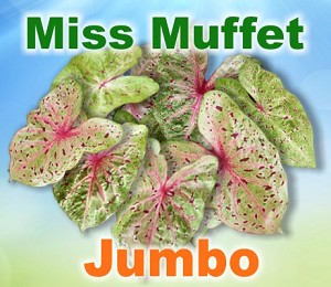 Miss Muffet Caladiums - Jumbo Bulbs
