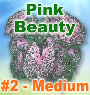 Pink Beauty Caladiums - Medium Bulbs by Count