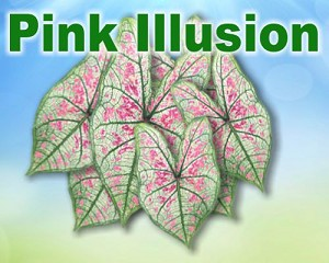 Pink Illusion Caladiums - Mixed Sizes