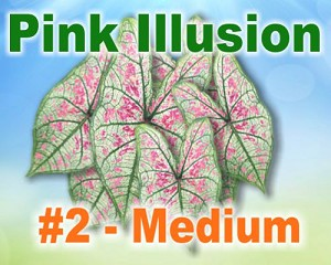 Pink Illusion Caladiums -  Medium Bulbs by Count