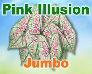Pink Illusion Caladiums -  Jumbo Bulbs by Count