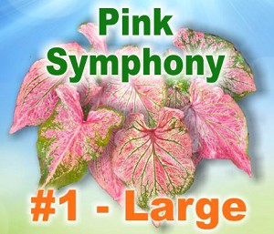 Pink Symphony Caladiums - Large Bulbs by Count