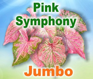 Pink Symphony Caladiums - Jumbo Bulbs by Count