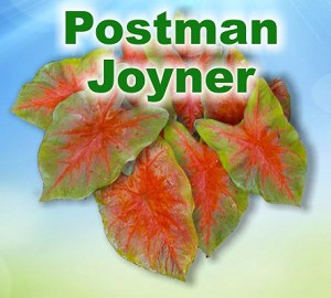 Postman Joyner Caladiums - Mixed Sizes