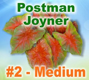 Postman Joyner Caladiums - Medium Bulbs by Count