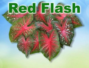 Red Flash Caladiums - Mixed Sizes