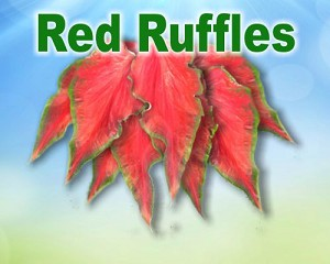 Red Ruffles Caladiums - Mixed Sizes
