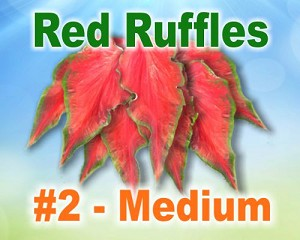 Red Ruffles Caladiums - Medium Bulbs by Count