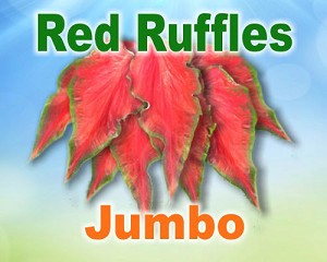 Red Ruffles Caladiums - Jumbo Bulbs