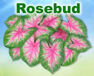 Rosebud Caladiums - Mixed Sizes