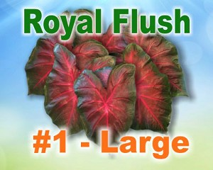 Royal Flush Caladiums -  Large Bulbs by Count
