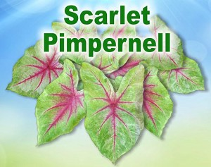 Scarlet Pimpernell Caladiums - Mixed Sizes