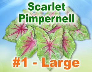 Scarlet Pimpernell Caladiums - Large Bulbs by Count