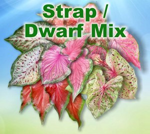 Strap/Dwarf Mix Caladiums - Jumbo Bulbs