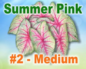 Summer Pink Caladiums -  Medium Bulbs by Count