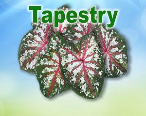 Tapestry Caladiums - Mixed Sizes