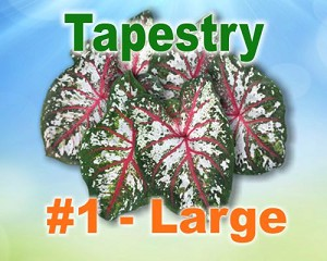 Tapestry Caladiums -  Large Bulbs by Count