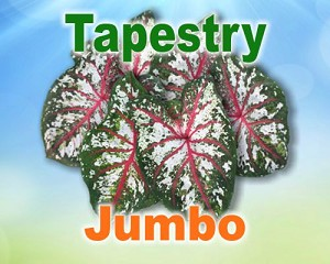Tapestry Caladiums -  Jumbo Bulbs by Count