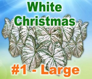 Wht Christmas Caladiums - Large Bulbs by Count