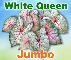 White Queen Caladiums - Jumbo Bulbs