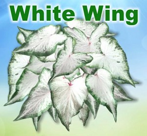 White Wing Caladiums - Mixed Sizes