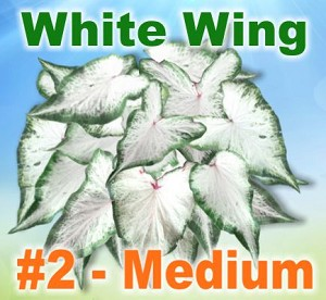 White Wing Caladiums - Medium Bulbs by Count